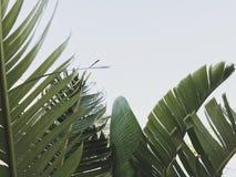 Grupp av stora gr?na banansidor av den exotiska palmtr?det i solsken p? vit bakgrund royaltyfri fotografi