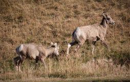 Grupp av stora horn- får Arkivfoto