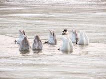 Grupp av svanar som matar i vinter fotografering för bildbyråer