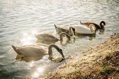 Grupp av svanen Royaltyfria Foton