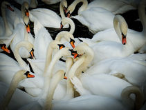 Grupp av svanen. vignettingstil Royaltyfria Bilder