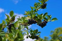 Grupp av svart chokeberry Royaltyfri Foto