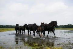 Grupp av svarta hästar som går i vattnet Royaltyfria Bilder