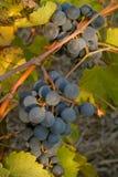 Grupp av svarta mogna winedruvor på vinen Royaltyfri Foto