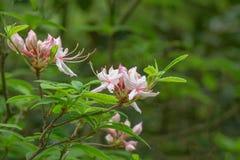 """Grupp av tidiga Azalea Flowers prinophyllum för rhododendron på för en grön Forest Background †"""" Arkivbilder"""