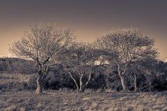 Grupp av träd, i ett höstligt sepialandskap, kvarterö, RI arkivbilder