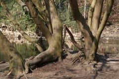 Grupp av träd längs flodbanken Arkivbilder