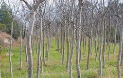 Grupp av träd med inga sidor Arkivfoto
