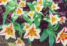 Grupp av trädgårds- tulpan royaltyfri fotografi