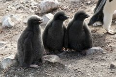 Grupp av tre Adelie pingvinnybörjare royaltyfri fotografi