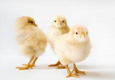 Grupp av tre fågelungar Arkivfoto