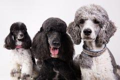 Grupp av tre pudlar Royaltyfri Bild