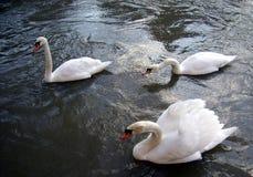 Grupp av tre svanar som är rörande framåtriktat på yttersidan av vattnet Royaltyfria Bilder