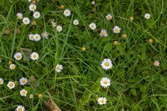 Grupp av tusensk?nor och l?sa blommor p? gr?set Spring avbildar arkivbild