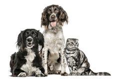 Grupp av två hundkapplöpning och ett skotskt veck royaltyfria foton