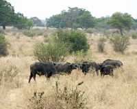 Grupp av uddebuffeln Royaltyfri Foto