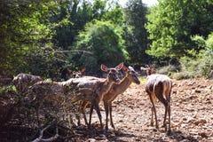 Grupp av unga deers i en skogröjning arkivfoton