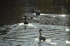 Grupp av unga svanar, unga svanar som simmar i vattnet i en sjö royaltyfri foto