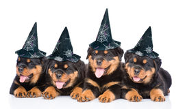 Grupp av valpar Rottweiler med hattar för halloween som ligger i linje På vitbakgrund Royaltyfri Fotografi