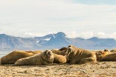 Grupp av valrossar på Prins Karls Forland, Svalbard Arkivfoto