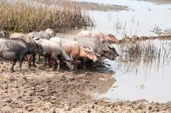 Grupp av vattenbuffeln på gräsfält Arkivbild