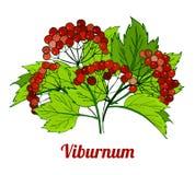 grupp av viburnumfilialer medicinal växt stock illustrationer