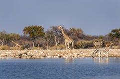Grupp av vilda djur nära en waterhole i den Etosha nationalparken, i Namibia Royaltyfri Bild