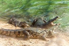 Grupp av vilda krokodiler eller alligatorer som slåss för rov under vatten Arkivfoton