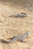 Grupp av vilda krokodiler eller alligatorer som värma sig i sol Royaltyfria Bilder