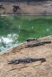 Grupp av vilda krokodiler eller alligatorer som värma sig i sol Arkivfoto