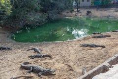 Grupp av vilda krokodiler eller alligatorer som värma sig i sol Arkivfoton