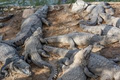 Grupp av vilda krokodiler eller alligatorer som värma sig i sol Fotografering för Bildbyråer