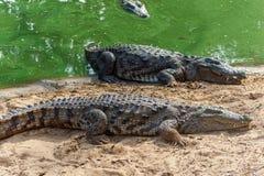 Grupp av vilda krokodiler eller alligatorer som värma sig i sol Arkivbild