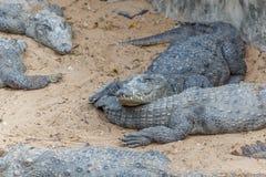 Grupp av vilda krokodiler eller alligatorer som värma sig i sol Arkivbilder