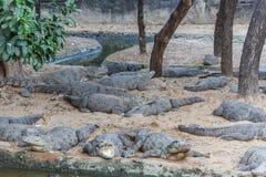 Grupp av vilda krokodiler eller alligatorer som värma sig i sol Royaltyfri Fotografi