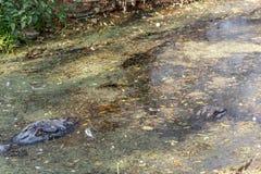 Grupp av vilda krokodiler eller alligatorer under vatten Arkivfoto