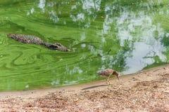 Grupp av vilda krokodiler eller alligatorer under vatten Arkivfoton