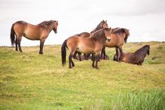 Grupp av vildhästar som står på en kulle på den holländska ön av texel royaltyfria foton