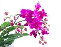 Grupp av violetta orkidér Royaltyfri Fotografi