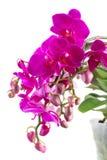 Grupp av violetta orkidér Royaltyfria Bilder