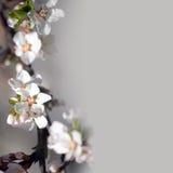 Grupp av vita äppletreeblommor Arkivbild