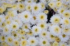 Grupp av vita blommor Royaltyfria Foton