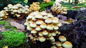 Grupp av vita champinjoner som växer på trädstubben inom den naturliga skogen royaltyfri foto