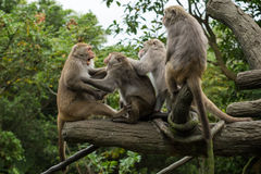 Grupp av våldsamma Formosan Macaqueapor Arkivfoton