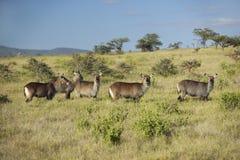 Grupp av waterbucks som ser in i kamera med Mount Kenya i bakgrund, Lewa naturvård, Kenya, Afrika Royaltyfri Fotografi