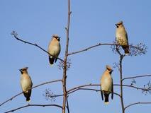 Grupp av waxwingsfåglar Arkivbild