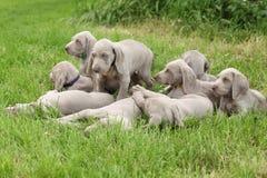 Grupp av Weimaraner Vorsterhund valpar tillsammans Fotografering för Bildbyråer
