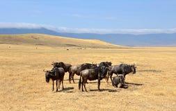 Grupp av wildebeesten som plattforer på Safari Royaltyfria Foton