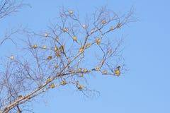 Grupp av yellowhammerfåglar Arkivbilder