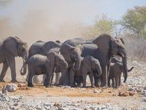 Grupp eller familj av afrikanska elefanter som omges av damm av den lilla tromben, Etosha nationalpark, Namibia, sydliga Afrika arkivbilder